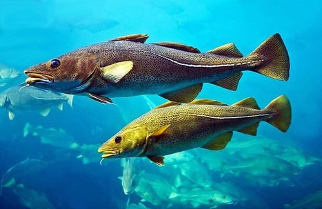 Saving Our Atlantic Fish Population: Yes We Can! - Organic Connections | Environmental Innovation | Scoop.it