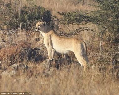 Spotless Cheetah Discovered | e-Expeditions | e-Expeditions News | Scoop.it