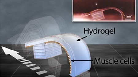 """3D Printed cell-powered """"bio-bots"""" get a wriggle on 