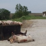 """Urgent: Iowa Senate to vote on bad """"Ag gag"""" bill today 