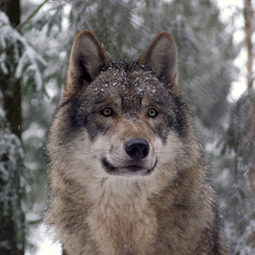 Give Wolves a Fighting Chance | Corinne | Scoop.it