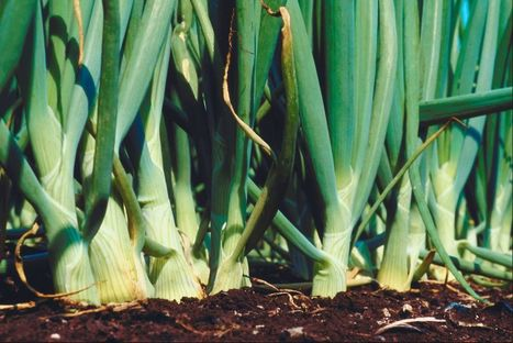 Time to Plant Onions | School Gardening Resources | Scoop.it