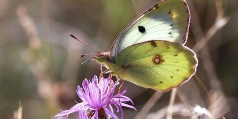 El cambio climático también perjudica a las mariposas mediterráneas | Bichos en Clase | Scoop.it