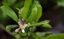 Officials: Citrus plant disease — already in Hidalgo County and Harlingen ... - Monitor | Citrus Science | Scoop.it