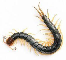 Centipede venom trumps morphine in mouse study of pain : Spoonful of Medicine | Ancient Health & Medicine | Scoop.it