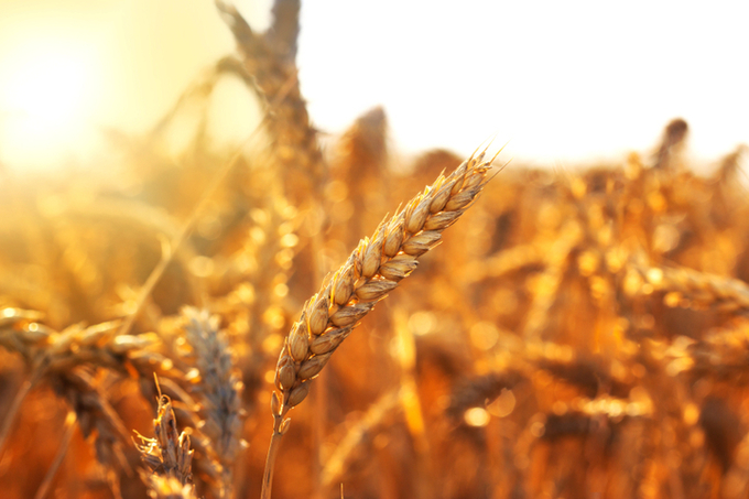 Heat-resistant wheat will fight food insecurity and shake up the global wheat trade, say researchers