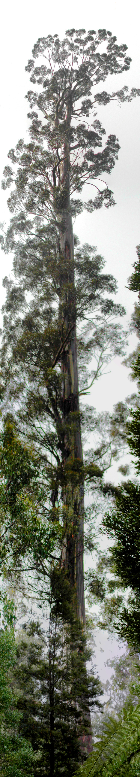 Climate change, fire may wipe out Australia's giant gum trees | Australian Plants on the Web | Scoop.it