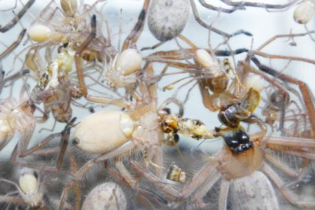 Chez des araignées chasseuses sociales, le partage des proies profite aux frères et sœurs plus jeunes [anglais] | EntomoNews | Scoop.it