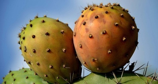 Prickly pear cactus may be key to food security in dry regions: UN