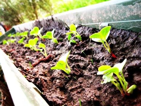 Cultiver des radis dans une jardinière | Côté Jardin | Scoop.it