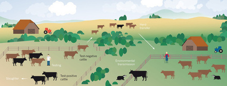 Animal health: How to control bovine tuberculosis : Nature | Bovine TB, badgers and cattle | Scoop.it