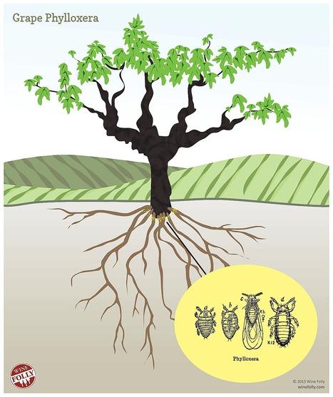 What is Grape Phylloxera? | 'Winebanter' | Scoop.it