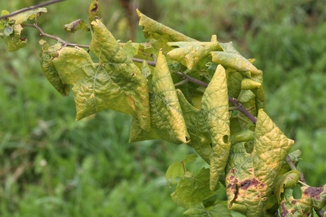 Phytoplasmas, vectors and measures for disease control | Plant health | Scoop.it