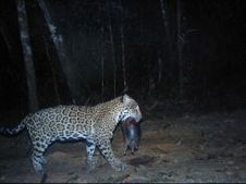 Cockscomb Basin: Where the big cats are | Belize in Social Media | Scoop.it