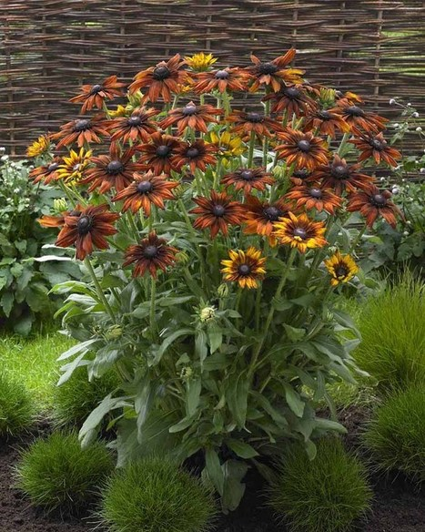 'Summerina' Echibeckia | botany | Scoop.it