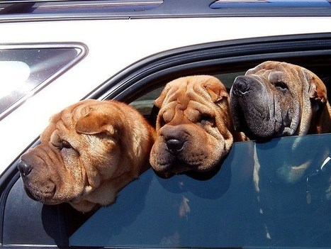 A dog's car accident: don't leave dogs in the car! | Auto & Driving | Scoop.it