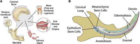 Cell Stem Cell - Stem Cells in the Face: Tooth Regeneration and Beyond | Stem Cells & Tissue Engineering | Scoop.it