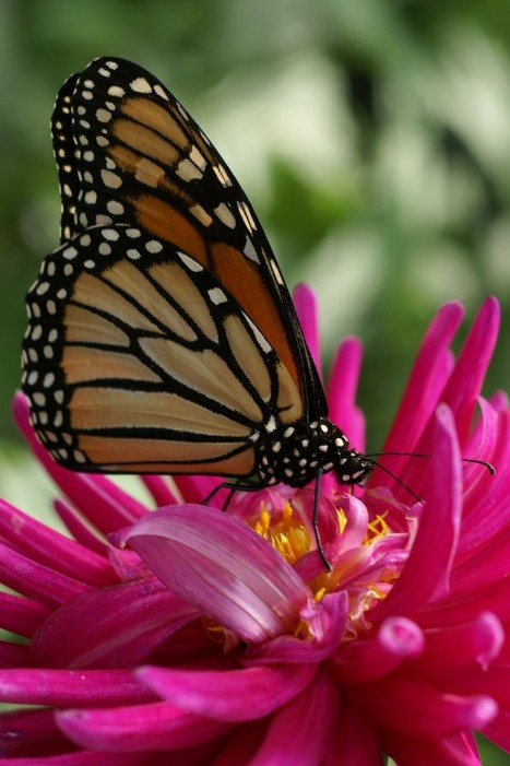 Papillon - Monarque - Danaus plexippus | Fauna Free Pics - Public Domain - Photos gratuites d'animaux | Scoop.it