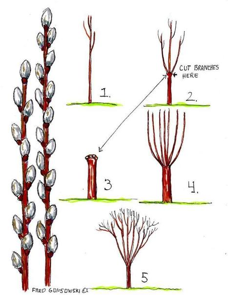 It's Easy to Grow PUSSYWILLOWS | Garden Ideas by Team Pendley | Scoop.it
