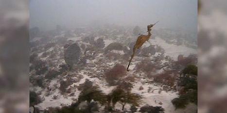 Le dragon des mers rubis filmé pour la première fois, au large de l'Australie | Ca m'interpelle... | Scoop.it
