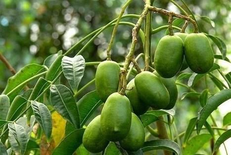 Cách trồng và chăm sóc cây cóc thái - Vườn cây bốn mùa | tamdeptrai | Scoop.it