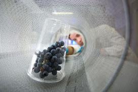 Vino&Ricerca. L'influenza dello stress idrico sullo sviluppo e maturazione dell'acino d'uva | Fondazione Mach | Scoop.it