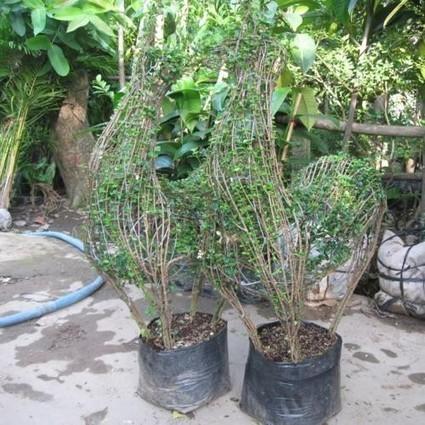 Cây cảnh chùm rụm Bonsai đẹp - chăm sóc cây trồng | tamdeptrai | Scoop.it