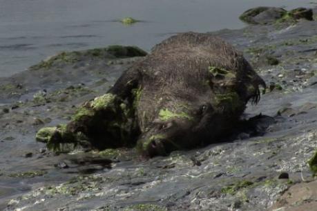 Algues vertes: de l'hydrogène sulfuré dans 5 des sangliers morts en Bretagne | Libération | Toxique, soyons vigilant ! | Scoop.it