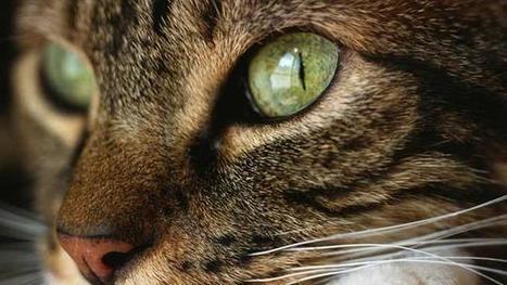 Pourquoi les yeux du chat luisent-ils dans le noir ? | Les chats c'est pas que des connards | Scoop.it