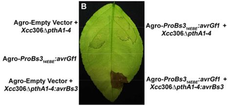 An engineered promoter driving expression of a microbial avirulence gene confers recognition of TAL effectors and reduces growth of diverse Xanthomonas strains in citrus - Mol. Plant Pathol. | Effectors and Plant Immunity | Scoop.it
