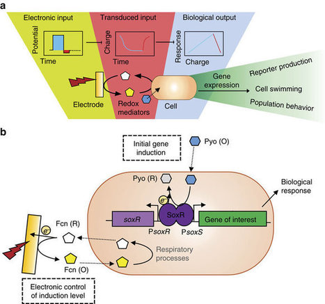 Electronic control of gene expression and cell behaviour in Escherichia coli through redox signalling | SynBioFromLeukipposInstitute | Scoop.it