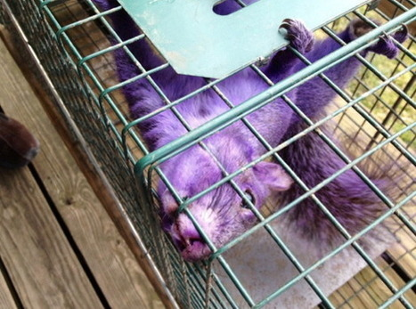 See the Purple Squirrel Discovered in Pennsylvania! | e-Expeditions | Scoop.it