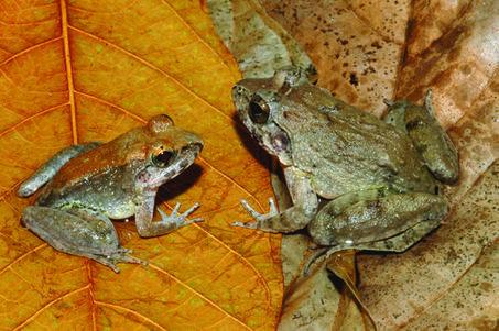 Découverte d'une première grenouille à accoucher de têtards | Biodiversité, Herpétologie, Ichtyologie, Entomologie... | Scoop.it