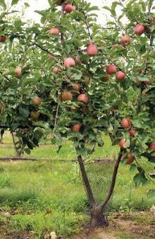 Les fruits à pépins multiplient  les axes | HORTICULTURE BOTANIQUE | Scoop.it