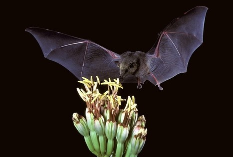 An Ingenious Experiment of Jungle Bats and Evolving Artificial Flowers | Plant Biology Teaching Resources (Higher Education) | Scoop.it