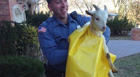 Mischievous Little Goat Arrested for Disorderly Conduct | Pet Sitter Picks | Scoop.it