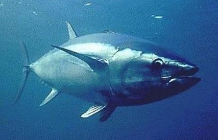 Les pêcheurs italiens de thon rouge n'obtiendront aucune indemnité