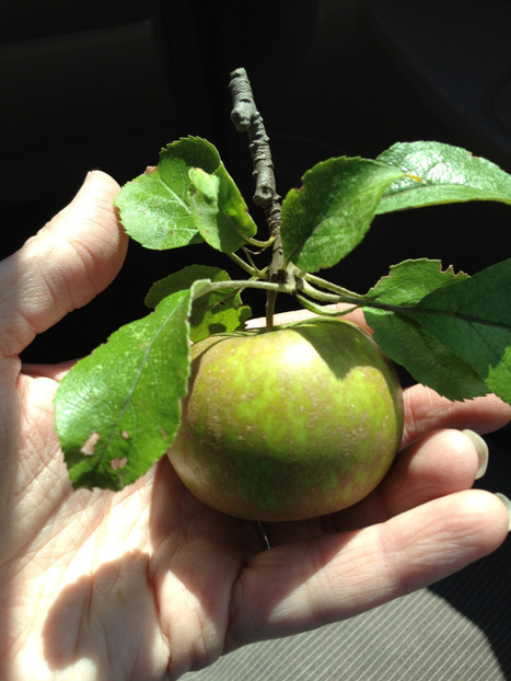 Help Identify this Apple Variety | Traverse City Businesses | Scoop.it