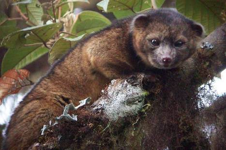 New species of mammal identified in jungles of Ecuador – the world's first new carnivore in 35 years | Places of Peace | Scoop.it