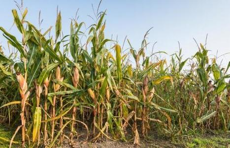 Can't agree on harmfullness of GMO maize | Farming, Forests, Water, Fishing and Environment | Scoop.it