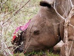 Rhino strategies flood into Parliament - Politics | IOL News | IOL.co.za | What's Happening to Africa's Rhino? | Scoop.it