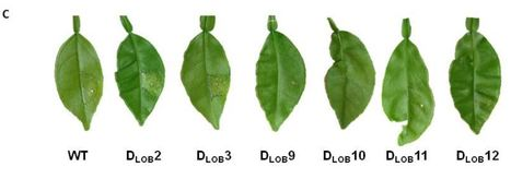 Genome editing of the disease susceptibility gene CsLOB1 in citrus confers resistance to citrus canker - Plant Biotech. J. | Emerging Research in Plant Cell Biology | Scoop.it