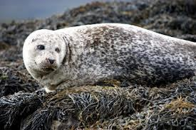 "70,000 Seal ""cull"" aka ""slaughter"", will not revive Canada's cod stocks -scientists 