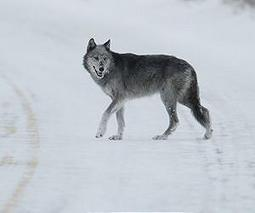 Sweden resumes wolf hunt despite controversy | Sustain Our Earth | Scoop.it