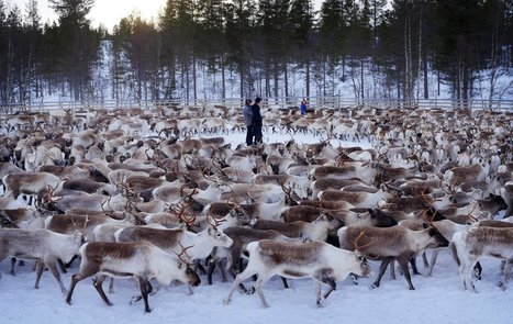 Reindeer are still very radioactive 30 years after Chernobyl | Sustainability Science | Scoop.it