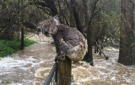 Sad, drenched koala is the face of Australia floods | Animals R Us | Scoop.it