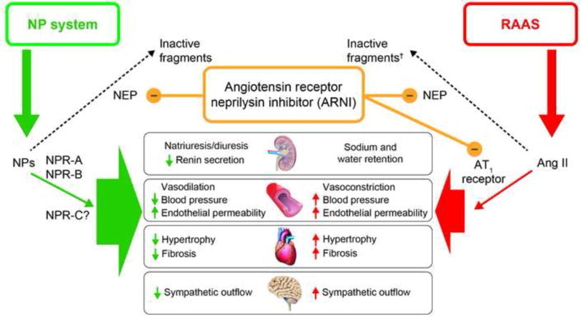 Natriuretic Peptides And Cardio Renal Disease on heart diagram