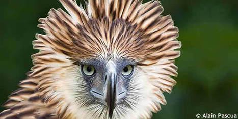Fabuleux L'aigle des Philippines ou aigle des singes - u FB92