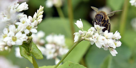 2017, année décisive pour les insecticides «tueurs d'abeilles» | EntomoNews | Scoop.it