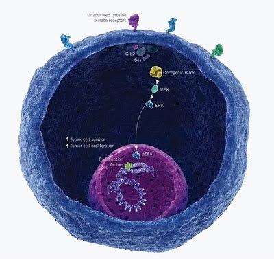 Vemurafenib (PLX 4032, Roche) Melanoma: FDA Review & Approval - un knol de Krishan Maggon | Melanoma BRAF Inhibitors Review | Scoop.it